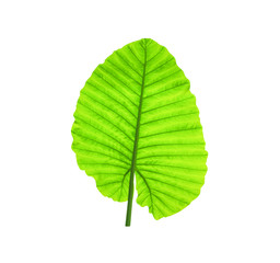 Green caladium leaves or  elephant ear plant isolated on white background. Natural texture