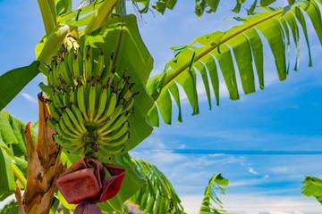 沖縄竹富島 島バナナの木