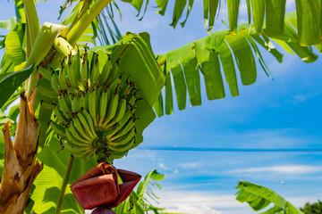 沖縄竹富島 バナナの木