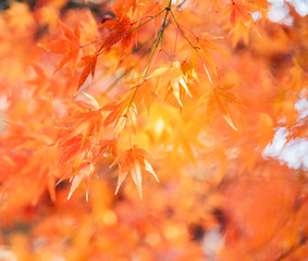 Red maple leaves/ branches in autumn season isolated on white background.Red maple tree with golden sunlight and blurred background, Japan