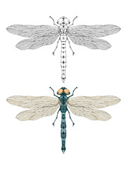 Vector illustration with hand drawn dragonfly. Two variants of insect: monochrome and colored.