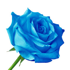 blue rose flower isolated on a white background. Close-up. Flower bud on a green stem with leaves.