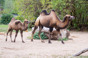camel and baby camel in zoo