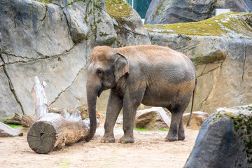 african elephant in zoo, playing around