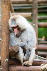 baboon in zoo