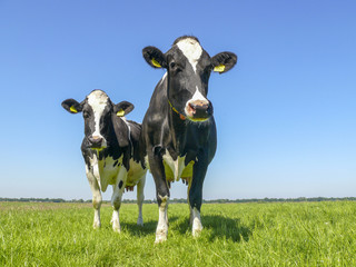 Two black and white cows,frisian holstein, standing in a pasture under a blue sky and a faraway straight horizon.