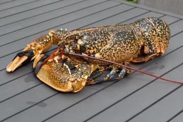 Homard breton vivant après la pêche