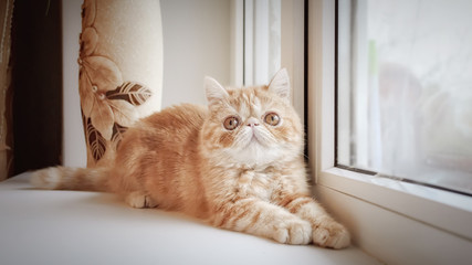 The young charming kitty of extreme breed lies on a window sill and extends before herself pads.