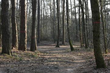 naaldbomen langs een bospad in de winter in de Kruisbergse bossen