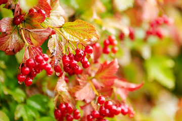 Red viburnum berry on the branch, autumn rain water drops