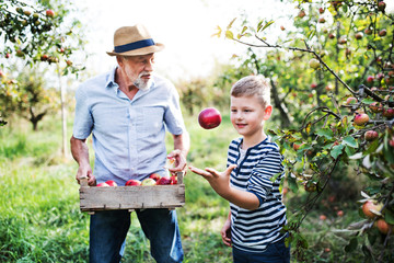 A senior man with grandson picking apples in orchard in autumn.