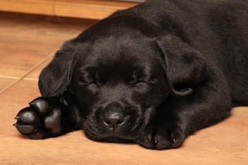 Black Labrador puppy sleep