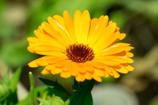 Closeup of Marigold (Calendula officinalis) flower