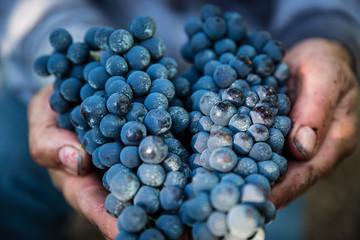 Mani agricoltore con uva Wall mural