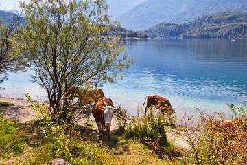 Kühe an einem See 2