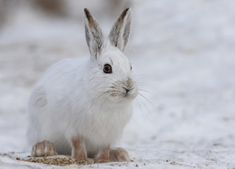 Snowshoe hare or Varying hare  (Lepus americanus) walking in winter in Canada