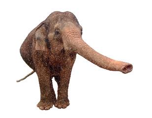 Asian elephant. Isolated on white background. Vector illustration.
