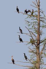 Cormorants Rest on a Barren Tree