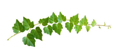 Closeup of ivy twig with small green leaves Wall mural