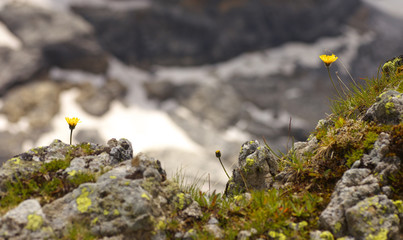 Two yellow blossom of a giant catsear (hypochaeris uniflora) growing on the rock