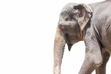 Elephant isolated white background