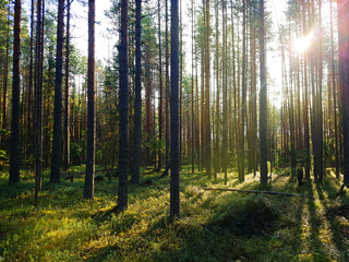 Pine forest in Karelia with sunshine and green moss