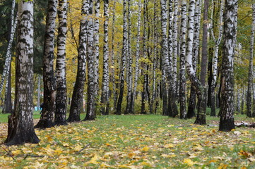 Fotobehang Autumn birch trees as a backdrop for theatrical performances