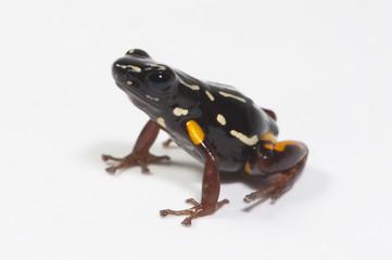 Baumsteigerfrosch (Adelphobates castaneoticus) - Brazil-nut poison frog