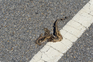 Skeleton of snake hitted by a car and was left decayed and dried on the road.