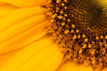 Pétalos y corola de flor naranja -   caléndula