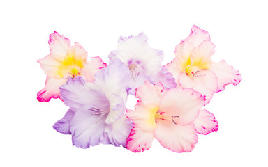 gladiolus flowers isolated