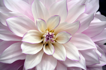 Lovely white dahlia flower with purple edging