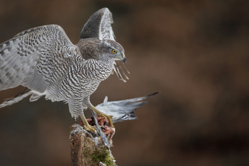 Wild female northern goshawk in Europe