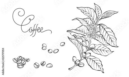 Coffee Twig Vintage Line Drawing Vector Illustration Coffee Berries