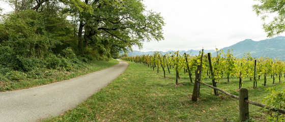 Wall Mural - gravel road running through forest landscape and grapevines in a vineyard with a view of Rhine Valley mountain landscape in Switzerland