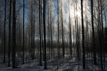 birch forest in deep scandinavian winter frost