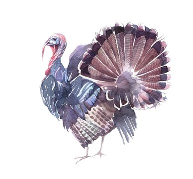 Funny turkey with an open tail. Hand painted watercolor illustration isolated on the white background.