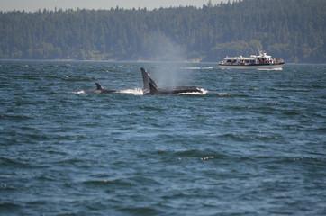 Foto op Aluminium Dolfijn Orcas