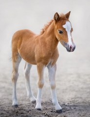 Wall Mural - American Miniature Horse. Portrait chestnut foal with blaze facial mark.
