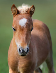 Fototapete - Portrait chestnut foal with white star.