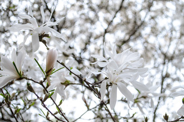 Blossoming magnolias in spring for inspiration and gift.