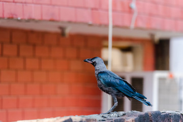 Juvenile house crow at first day