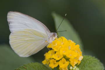 Cabbage Butterfly on Yellow Lantana