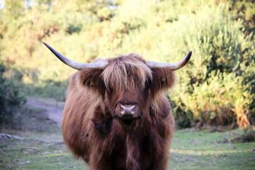 Wild bull with horns