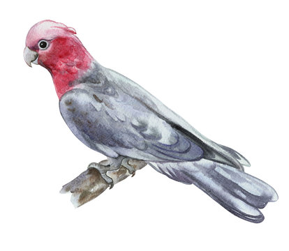 Rose-breasted cockatoo, galah cockatoo, pink and grey cockatoo or roseate cockatoo isolated on white background. Watercolor. Illustration. Template. Hand drawing. Clipart. Close-up