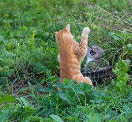 red and gray cats play, frolic and fight in the outdoors