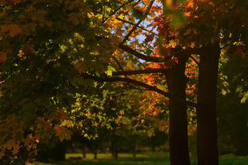 Autumn maples in the Park and blue sky: beautiful trees with yellow, orange, red and green leaves – landscape photo without people
