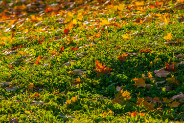 Beautiful fallen maple leaves on green grass on a low hill – late summer – early autumn, evening background photo before sunset