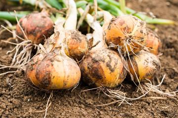 Freshly dug onion bulbs Wall mural