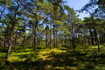 Pine forest on Sandhamn in Sweden
